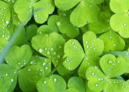 Comments On Lucky Shamrocks Green Irish Clovers Flowers