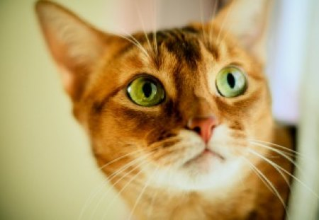 Curious Cat Cats Animals Background Wallpapers On Desktop Nexus