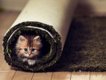 Carpet kitty