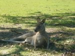 Mother Aussie Kangaroo with Baby in Pouch
