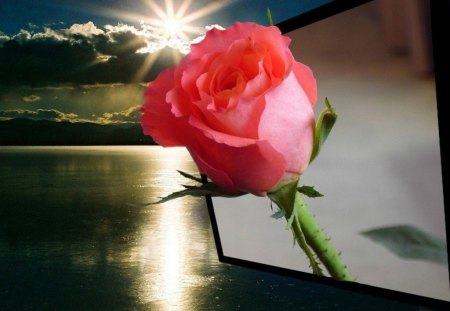 Sunday Rose for My Dn Friends - Flowers & Nature Background ...