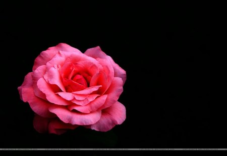 A Gorgeous Pink Rose On A Black Background Flowers Nature Background Wallpapers On Desktop Nexus Image 1087000