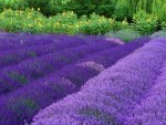 Splendid Lavender Flower
