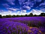 Field of flowers under the blue sky