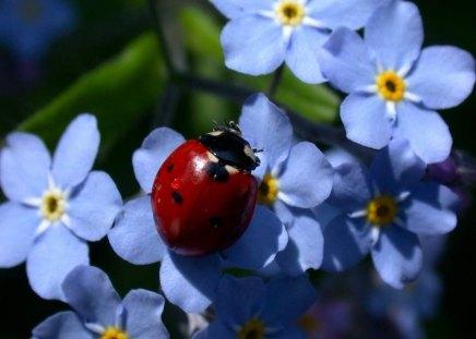 Ladybird - ladybug, blue, ladybird, spring, forget-me-not