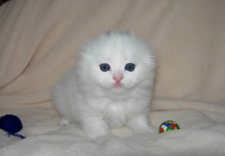 Scottish Fold - cute, pet, scottish fold, cat, kitten, animal