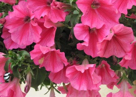 Petunias pink flowers - flowers, petunias, pink, green, Photography