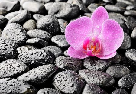 Lonely flower on stones - lovely, pink, orchid, nice, flower, pretty, wet, lonely, stones, spa, drops, beautiful