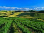 Tea Field in Walla Walla, Washington