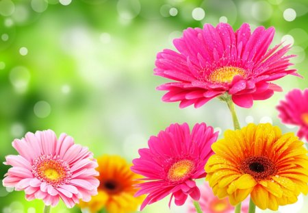 Lovely gerberas - lovely, colorful, flowers, nice, pretty, colors, gerberas, beautiful, daisies, fresh, nature