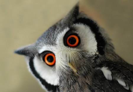 Cute baby owl - animal, eye, owl, bird