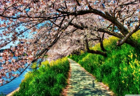 cherry-blossom-tunnel - flowers, fields, nature, trees