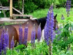 Horse and Lupins