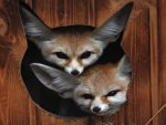 Two Fennec Foxes are better than One