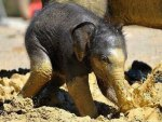 Baby Elephant Making Mud Pies!