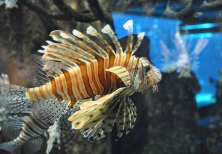 There is a Tiger in my Tank - fish, fans, water, stripes