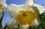 Pretty daffodil flower