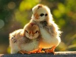A Couple Chicks