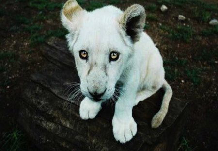 Beautiful Baby Lion Cub - beautiful, lion, white, young, sad, cub, baby