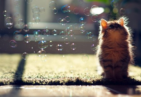 Soap bubbles - kitty, sunlight, curious, playful, soap bubbles, cat, animal, cute, whiskers, bubbles, kitten, eyes, fur