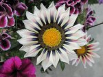 Gazania Flower one of the kind