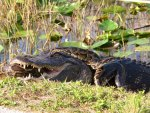 """Gator & python""...."
