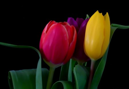 Tulips - lovely tulips, red, leaves, purple, flowers, yellow, petals, tulips