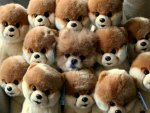 Only One Is Real..Can You Find the Real Pomeranium? ☺