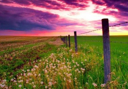 nature sunset grass dandelion - photo #11