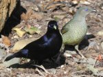 Satin Bower Birds