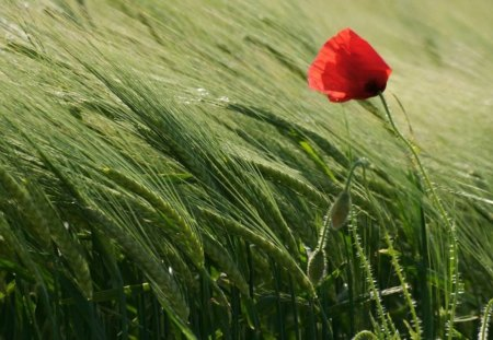 NODDING IN THE WIND - poppies, forces of nature, weather, grasses, lonesome, plants, flowers, nature, climate