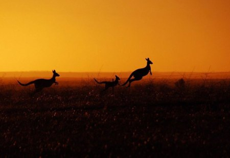 HEADING FOR HOME - kangaroos, australia, marsupials, sunrise, sunset, animals, landscape
