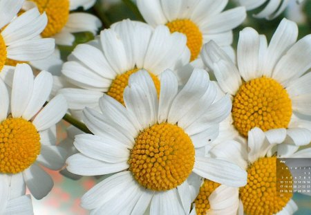 Margaritas - flower, nature, margarita, daisy