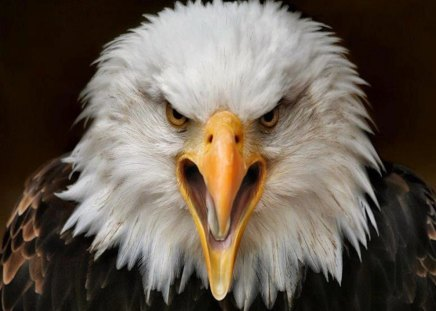 The Glare of the Eagle Eye - powerful, bird, symbol, eagle, mascot, american, prey
