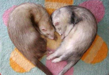 Ferret Love Other Animals Background Wallpapers On Desktop Nexus Image 110243