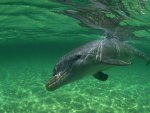 Dolphin in Green Water