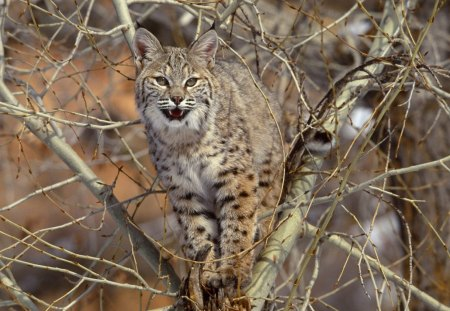 Lince - animal, arvore, selvagem, lince, bonito