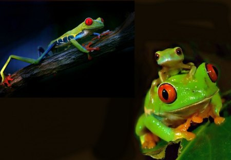 Red Eyed Frogs For Dianna