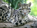 Leopardo, zoologico em Grassmere Tennessee