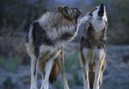 Lobos Mexicanos Other Animals Background Wallpapers On Desktop