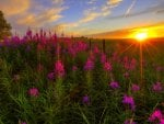 WILD FLOWERS @ SUNSET