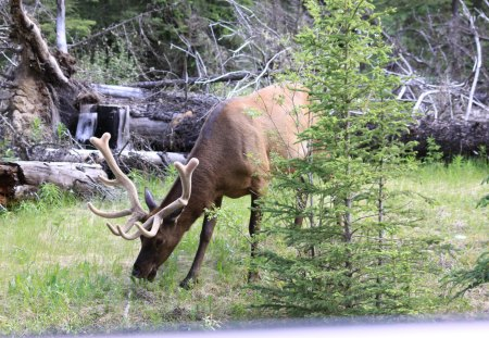 Elk at Banff Alberta - brown, photography, elk, green, trees
