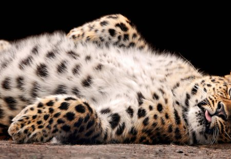 Cute Snow Leopard - strong, fast, snow, animal, nose, wild, dots, soft, cat, fur, leopard