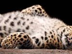 Cute Snow Leopard