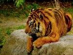 RELAXING BENGAL TIGER