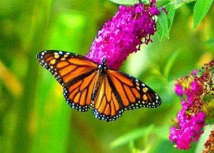 The marvelous Monarch