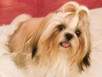 Pretty Girl Lhasa Apso