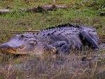 American Alligator 2