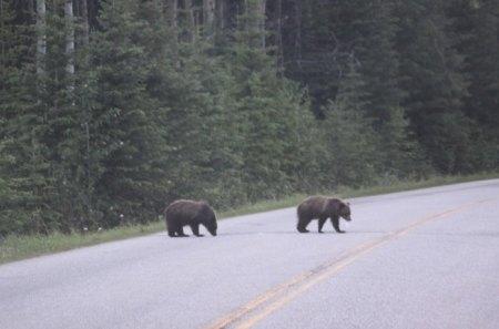 Bears cross the street - bears, road, photography, green, trees
