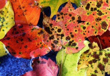 Leaf Assortment - assortment, leaf, fall, colors
